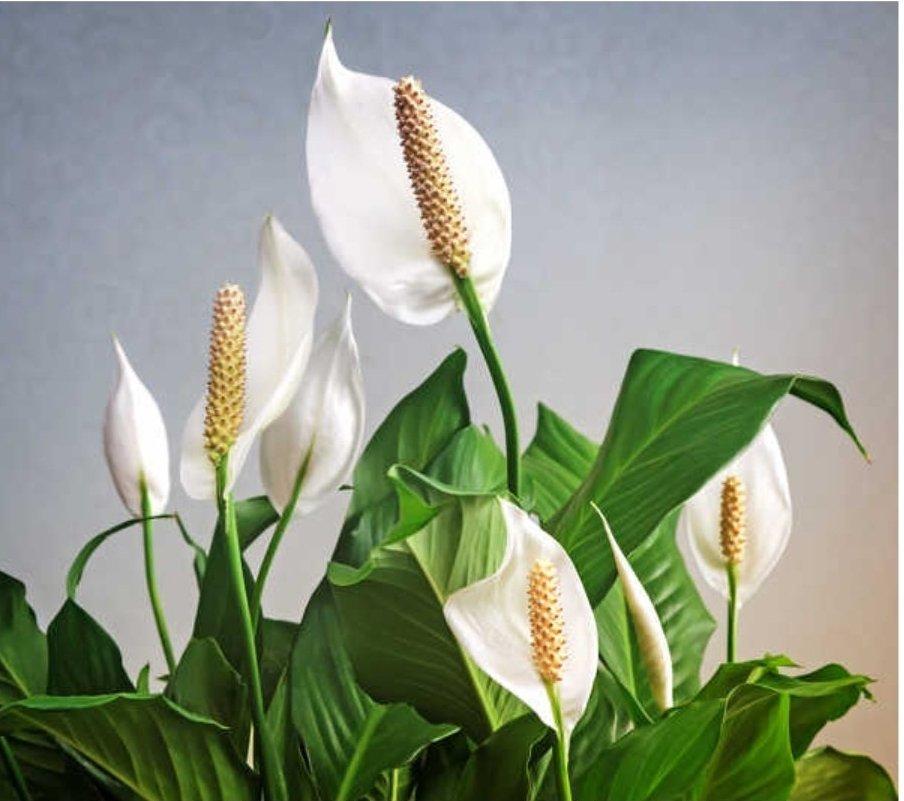 Plantes : spathiphyllu ou fleurs de lunes